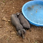 Pigs_At_Pool